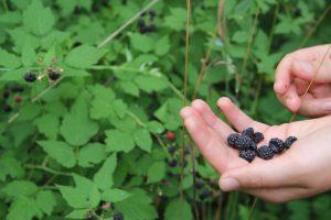 Hannah Kasun picking black raspberries at the Farley Center.