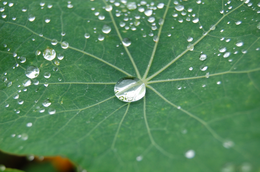 Nasturtium Droplet