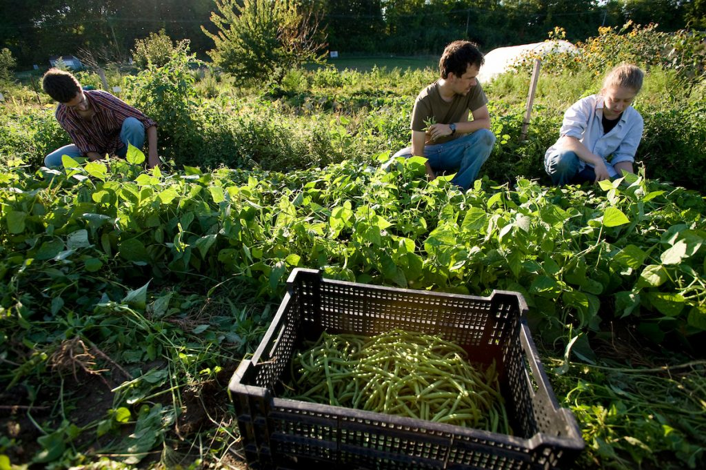 Volunteers from the University of Wisconsin-Madison's F.H. King Students for Sustainable Agriculture harvest green beans and weed their 30,000-square-foot garden plot, UW-Madison's first community-supported agriculture (CSA) farm, near Picnic Point in Madison. Photo by: Jeff Miller.
