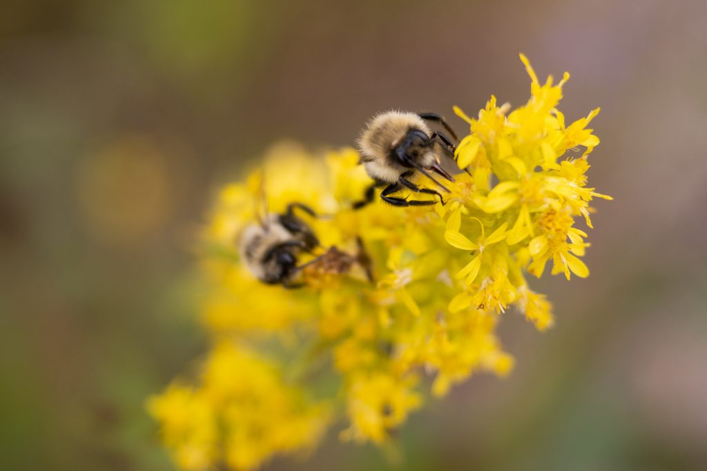 Bumble bees on goldenrod
